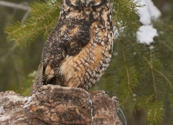 long-eared-owl-copyright-photographers-on-safari-com-7607