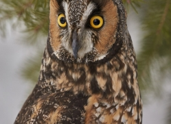 long-eared-owl-copyright-photographers-on-safari-com-7608