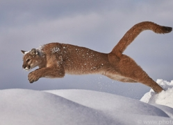 mountain-lion-copyright-photographers-on-safari-com-7610