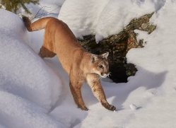 mountain-lion-copyright-photographers-on-safari-com-7611