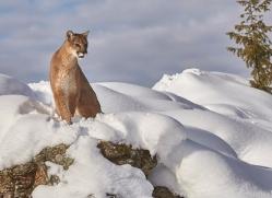 mountain-lion-copyright-photographers-on-safari-com-7612