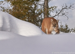 mountain-lion-copyright-photographers-on-safari-com-7615