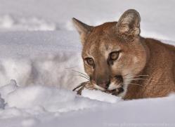 mountain-lion-copyright-photographers-on-safari-com-7617