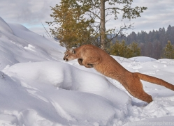 mountain-lion-copyright-photographers-on-safari-com-7618