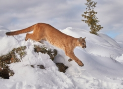mountain-lion-copyright-photographers-on-safari-com-7620