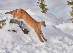 mountain-lion-copyright-photographers-on-safari-com-7621