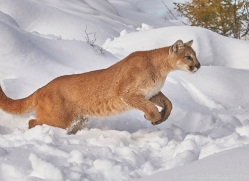mountain-lion-copyright-photographers-on-safari-com-7622