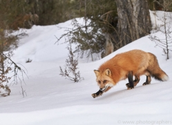 red-fox-copyright-photographers-on-safari-com-7623