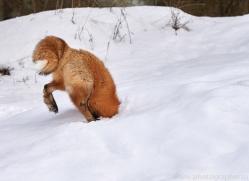 red-fox-copyright-photographers-on-safari-com-7628