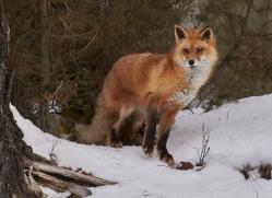 red-fox-copyright-photographers-on-safari-com-7633