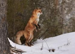 red-fox-copyright-photographers-on-safari-com-7634