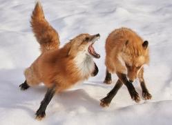 red-fox-copyright-photographers-on-safari-com-7640