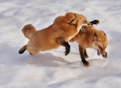 red-fox-copyright-photographers-on-safari-com-7641