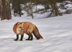 red-fox-copyright-photographers-on-safari-com-7643