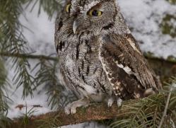 screech-owl-copyright-photographers-on-safari-com-7645