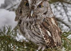 screech-owl-copyright-photographers-on-safari-com-7646