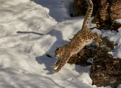snow-leopard-copyright-photographers-on-safari-com-7648