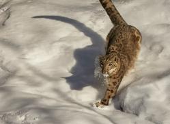 snow-leopard-copyright-photographers-on-safari-com-7649