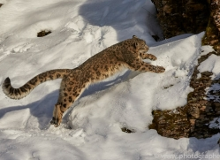 snow-leopard-copyright-photographers-on-safari-com-7650