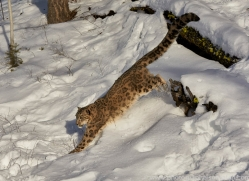 snow-leopard-copyright-photographers-on-safari-com-7652