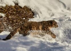 snow-leopard-copyright-photographers-on-safari-com-7653