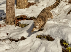 snow-leopard-copyright-photographers-on-safari-com-7654