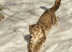 snow-leopard-copyright-photographers-on-safari-com-7655