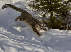snow-leopard-copyright-photographers-on-safari-com-7658