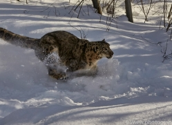 snow-leopard-copyright-photographers-on-safari-com-7659