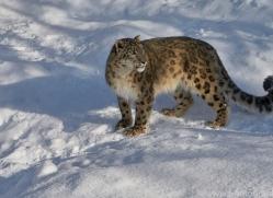 snow-leopard-copyright-photographers-on-safari-com-7661
