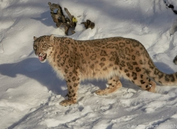 snow-leopard-copyright-photographers-on-safari-com-7662