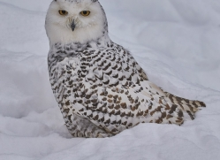 snowy-owl-copyright-photographers-on-safari-com-7663