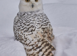 snowy-owl-copyright-photographers-on-safari-com-7664