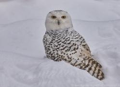snowy-owl-copyright-photographers-on-safari-com-7665