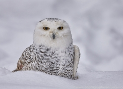snowy-owl-copyright-photographers-on-safari-com-7666