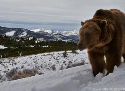 Grizzly Bear 2014-2copyright-photographers-on-safari-com