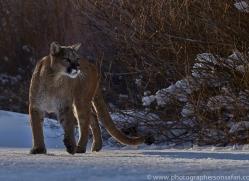 Mountain Lion 2014-10copyright-photographers-on-safari-com