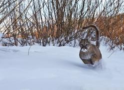 Mountain Lion 2014-15copyright-photographers-on-safari-com