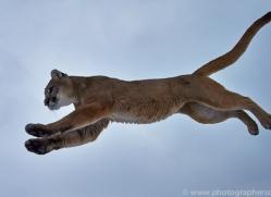 Mountain Lion 2014-16copyright-photographers-on-safari-com