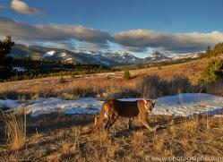 Mountain Lion 2014-1copyright-photographers-on-safari-com