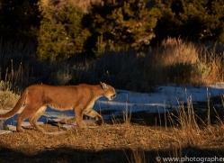 Mountain Lion 2014-2copyright-photographers-on-safari-com