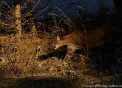 Mountain Lion 2014-4copyright-photographers-on-safari-com