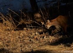 Mountain Lion 2014-5copyright-photographers-on-safari-com