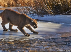 Mountain Lion 2014-7copyright-photographers-on-safari-com