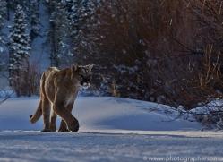Mountain Lion 2014-9copyright-photographers-on-safari-com