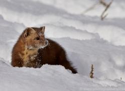 Pine Marten 2014-3copyright-photographers-on-safari-com