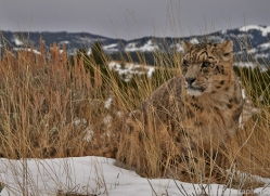 Snow Leopard 2014-1copyright-photographers-on-safari-com