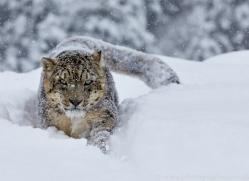 Snow Leopard 2014-5copyright-photographers-on-safari-com