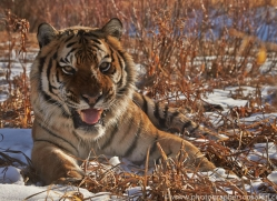 Tiger 2014-11copyright-photographers-on-safari-com