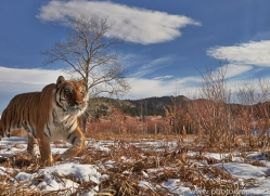 Tiger 2014-12copyright-photographers-on-safari-com